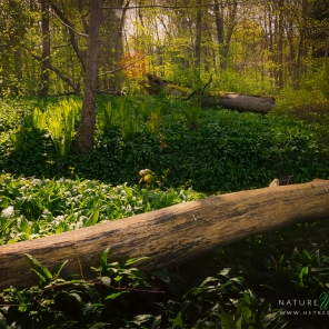 Ramsons Forest