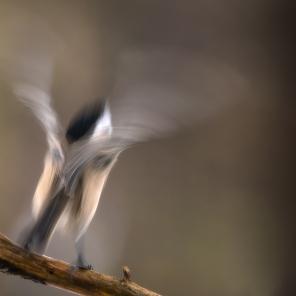 Põhjatihane, Willow Tit, Parus montanus