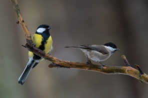 Rasvatihane, Great Tit, Parus major