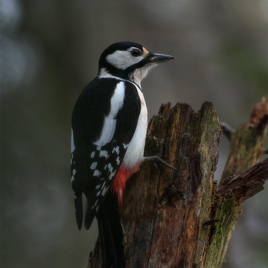 Suur-kirjurähn, Great Spotted Woodpecker, Dendrocopos major