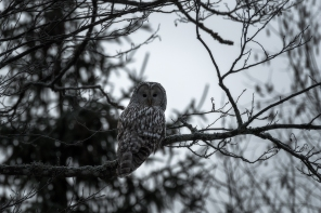 Habekakk, Great Grey Owl, Strix nebulosa