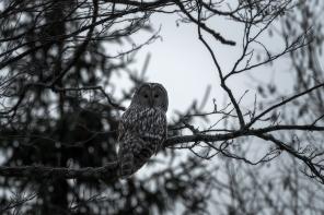 Habekakk, Great Grey Owl, Strix nebulosa
